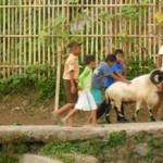 Domba Garut Hendak Mandi Setelah Rapih Dicukur. (Foto: John.