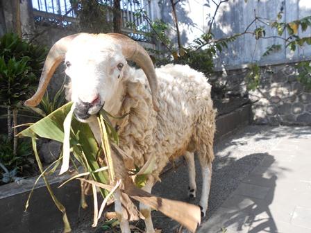 Seekor domba hibah dari bupati bagi kalangan jurnalis. (Foto: John).