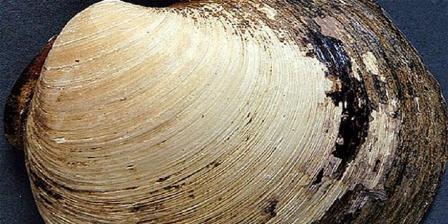 Cangkang quahog Ming, hewan tertua di dunia terbunuh di tangan ilmuwan. | Bangor University