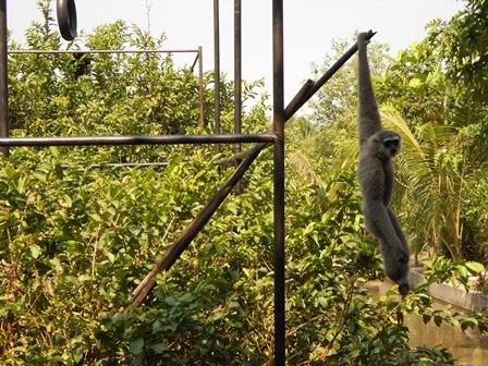 Mengagumkan, Keterampilan Dasar Primata Ini. (Foto : John).