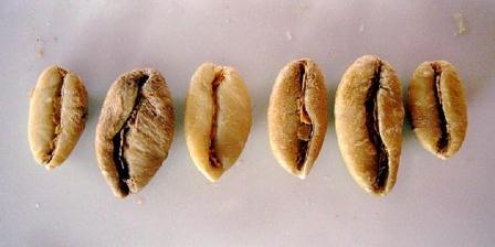 Kopi Liberika (Coffea liberica) | Sweetmarias