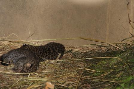 Inilah Dua bayi Macan Tutul, Berhasil Dibudidayakan Taman Satwa Cikembulan.