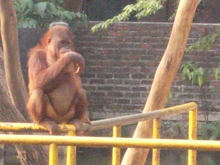 Orangutan pun tak rakus. (Foto: John).