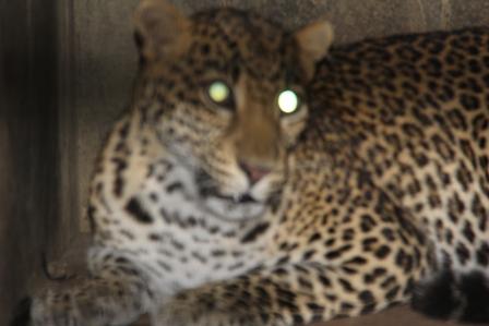 Macan Tutul Setelah Melahirkan Anaknya di Taman Satwa Cikembulan. (Foto : John).