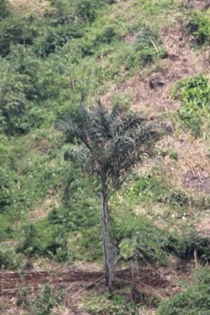 Pohon Enau Masih Muda.