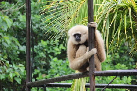 """Ilustrasi, Primata atawa """"Kunyuk""""Bule Ini, Barangkali Merenung Bagaikan Gunung Hadapi Tahun Politik 2014. (Foto: John Doddy Hidayat)."""