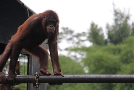 """Ilustrasi, Jika Orangutan Bisa Memilih, Dipastikan Dimuliakan Sebagai """"Tambang"""" Suara Pada Tahun Politik 2014. (Foto: John Doddy Hidayat)."""