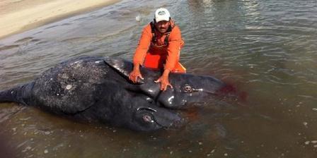 Paus kelabu berkepala dua ditemukan di Baja California. (Jesus Gomez).