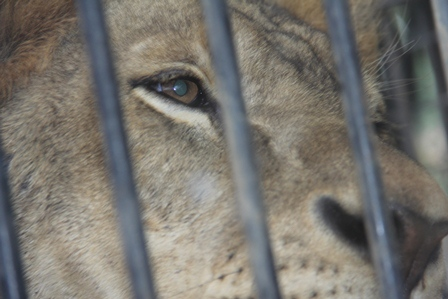Mata Singa Jantan Langsung Berbinar, Merespon Cumbuan Singa Betita di Taman Satwa Cikembulan.