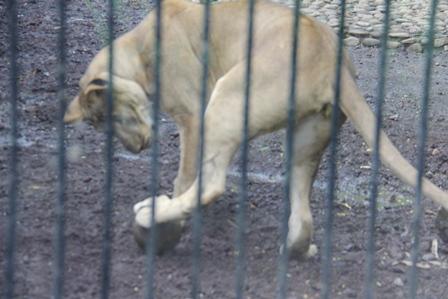 Setelah Terjadi Perkawinan, Singa Betina Spontan Meninggalkan Singa Jantan, Kemudian Bermain Bola Sendiarian.