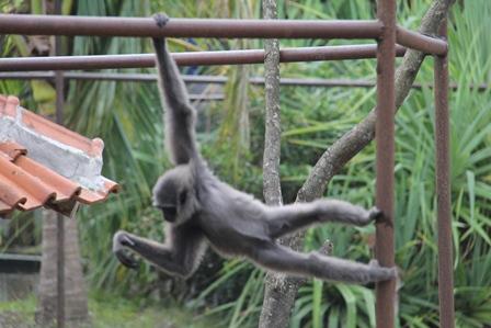 Sedangkan Seekor Primata di Taman satwa Cikembulan, Eksis Beratraksi Energik, Sambil Mengintip Sepasangan Singa Bermesraan.