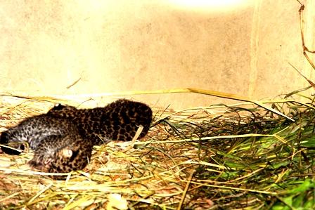 Anak macan Tutul yang Lahir di Taman satwa Cikembulan. (Foto: John Doddy Hidayat).