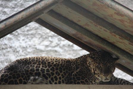 Si Kupa, Berusia Enam Tahun, Jantan Macan Tutul. (Foto: John Doddy Hidayat).