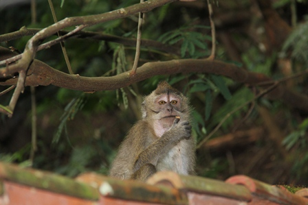 "Ilustrasi. Monyet Itu Rakus, Bahkan Kerap ""Culas"" Seperti Karakter Kebanyakan Pejabat di Negeri Bernama Indonesia. (Foto: John Doddy Hidayat)."