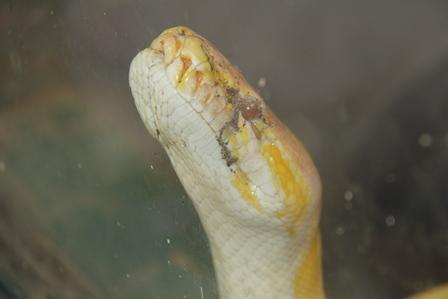 Ilustrasi. Ular Albino. (Foto : John Doddy Hidayat).