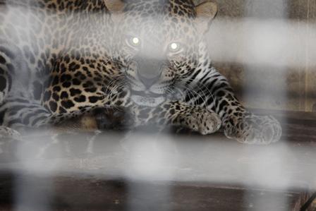 Ilustrasi. Macan Jantan di Taman Satwa Cikembulan, Kadungora, Garut, Jawa Barat. (Foto : John Doddy Hidayat).