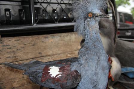 Ilustrasi. Burung Mambruk, Juga Asal Papua. (Foto: John Doddy Hidayat).