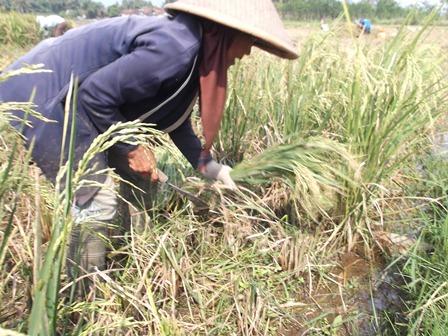 Banyak Petani Garut Terpaksa Memusnahkan Tanaman Padi Masih Hijau, Lantaran Dipastikan Gagal Panen, Ahad (15/06-2014).