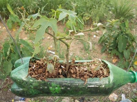 Bisa Dijadikan Sarana Pembibitan Jenis Pohon Pepaya.