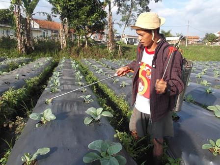 Hamparan Tanaman Bloom Kol di Panawuan.