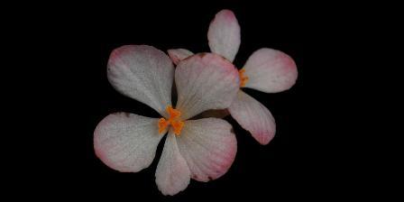 Bunga betina Begonia gambutensis. (Wisnu Handoyo Ardi).
