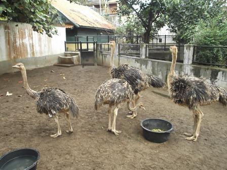 Burung Unta, Salah Satu Koleksi Taman Satwa Cikembulan.