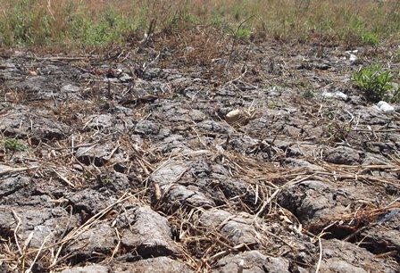 Tanah Terbelah Kekeringan, Tanaman Meranggas Mati.