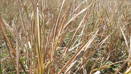 Kondisi tanaman Padi yang Fuso.