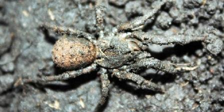 Paratropis tuxtlis.(EuroPIcs).