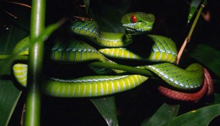 Ular viper bermata ruby (Trimeresurus rubeus) merupakan spesies ular viper hijau yang baru ditemukan di hutan nasional di dekat Ho Chi Minh City, Vietnam. Peter Paul van Dijk/Darwin Initiative/telegraph.co.uk