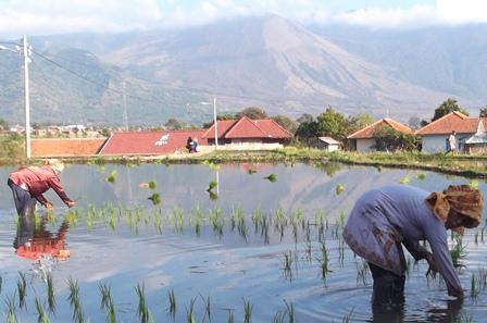 Ilustrasi. Memulai Menanam Padi di Garut, Jawa Barat. (Foto : John Doddy Hidayat).
