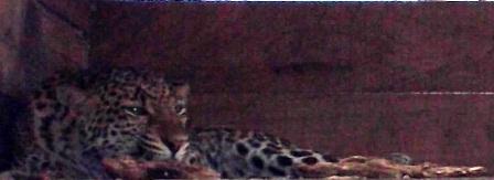 Induk Macan Tutul Kini Hamil Kedua Kalinya di Taman Satwa Cikembulan.