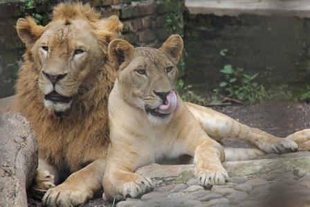 Sepasang Singa Afrika.
