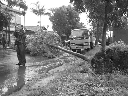 Hujan Deras Disertai Angin Kencang Menumbangkan Pohon Langsung Tercerabut Dengan Akarnya.