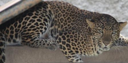 Inilah Primadona Taman Satwa Cikembulan. (Foto : John Doddy Hidayat).