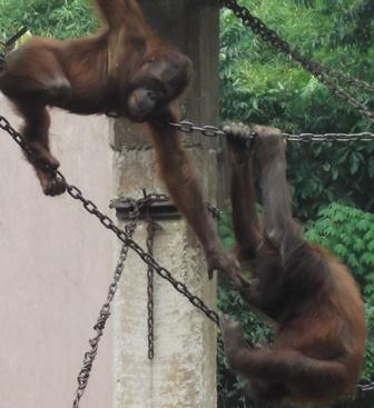 Sepasang Orangutan Nikmati Habitatnya di Taman Satwa Cikembulan.