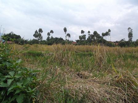 Ilustrasi. Gagal Panen di Bayongbong, Garut, Jabar. (Foto : John Doddy Hidayat).