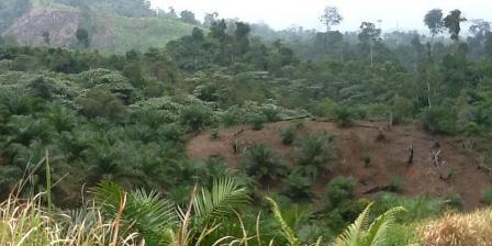 Ilustrasi: Hutan yang berubah menjadi perkebunan kelapa sawit. (kompas.com/Firmansyah).