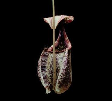 Nephentes rafflesiana. (Sarracenia).