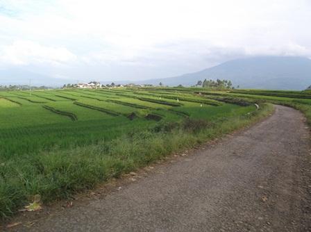 Potensi Sawah di Kampung Cikurantung Desa Padamukti Kecamatan Pasirwangi, Sebagian Besar Masih Berkondisi Tadah Hujan.
