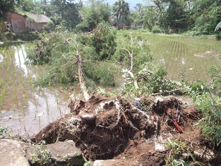 RTLH serta Hamparan Sawah Tertimpa Pohon Rubuh.