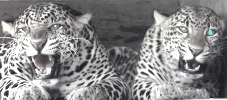 Sepasang Primadona, Menunggu Kelahiran dari Kehamilan Macan Tutul Betina Kedua Kalinya.