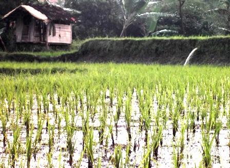 Umumnya Kondisi Potensi Pertanian di Desa Juga Mendesak Sentuhan Teknologi Pasca Panen, yang Memadai.