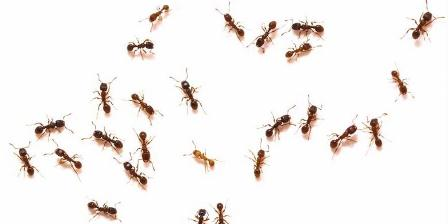 Semut di perkotaan menyesuaikan pola konsumsi makanan seperti manusia. (SHUTTERSTOCK).