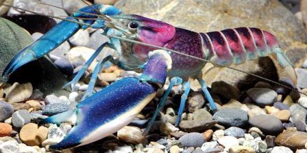 Lobster Cherax pulcher jantan dewasa yang dipotret di Aquarium Dietzenbach. (ookeys).