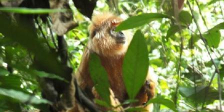 Populasi lutung jawa tinggal 2.000 ekor, tersebar di seluruh hutan Pulau Jawa yang kian menyempit.(BBC Indonesia).