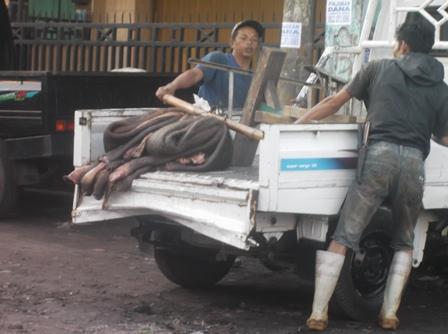 Kulit Mentah Segera Dibawa Ke Industri Penyamakan. (Foto : John Doddy Hidayat).