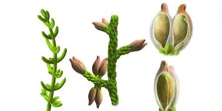 Ilustrasi Montsechia vidalii. (Oscar Sanisidro).