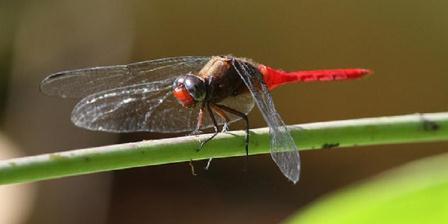 Capung Tengger Perut Kait (Orthetrum chrysis).(Flickr).