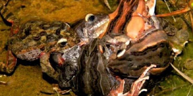 Perkawinan pada katak jenis Crinia georgiana. (UWA).